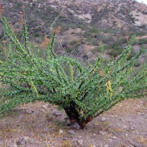Fouquieria Diguetii - 10 Seeds - Adam's Tree