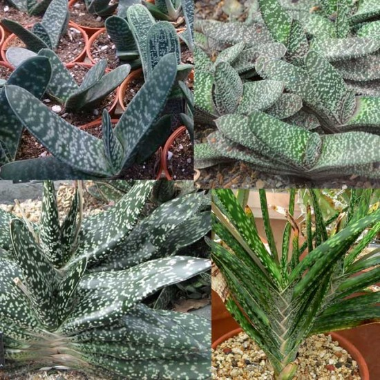 Gasteria ssp Mixture - 50 Seeds - African Succulent