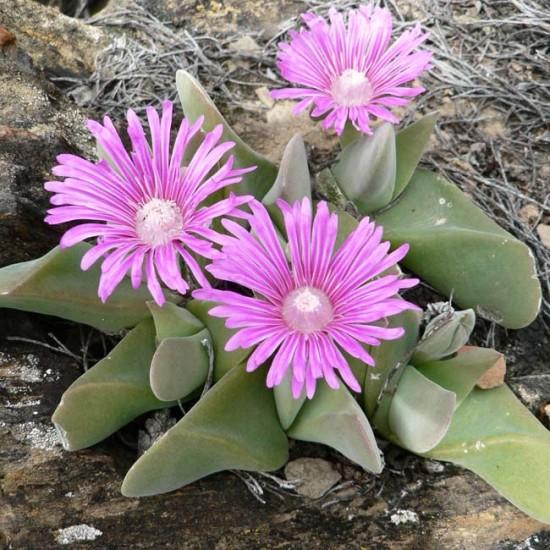 Gibbaeum Velutinum 'Pink' - 15 Seeds - Mesembryanthemum Succulent