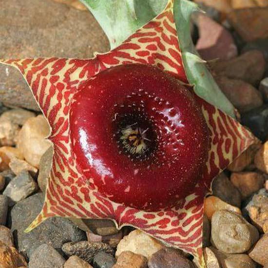 Huernia Transvaalensis - 5 Seeds - Asclepiad Stapelia Succulent