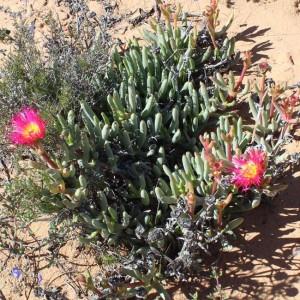 Jordaaniella Spongiosa - 100 Seeds - South African Mesembryanthemum