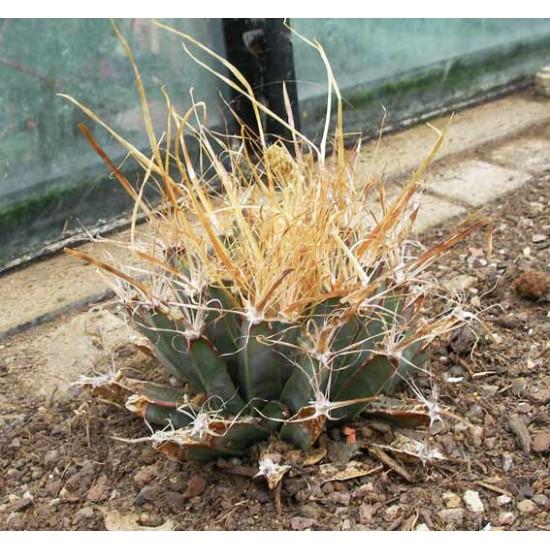 Leuchtenbergia Principis - 10 Seeds - Agave Prism Cacti