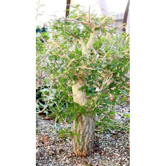 Operculicarya Decaryi - 5 Seeds - Jabily