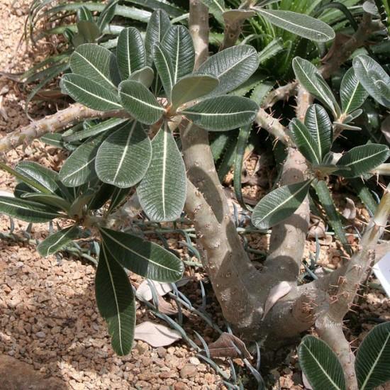 Pachypodium Rosulatum ssp Rosulatum - 5 Seeds - Madagascar Elephants Foot Succul
