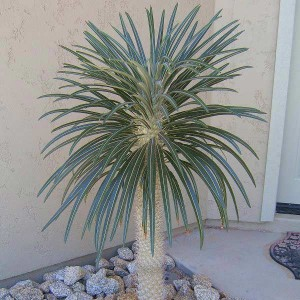 Pachypodium Geayi - 50 Seeds - Succulent of Madagascar