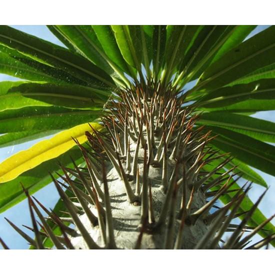 Pachypodium Lamerei var Ramosum - 10 Seeds - Succulent of Madagascar