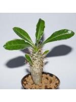 Pachypodium Saundersii - 6 Seeds - African Succulent