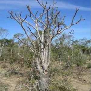 Pachypodium Meridionale Seeds - Madagascar succulent