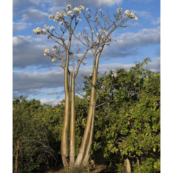 Pachypodium Rutenbergianum v Rutenbergianum - 10 Seeds - Succulent of Madagascar