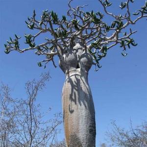 Pachypodium Mikea Seeds - Madagascar Pachycaul Succulent