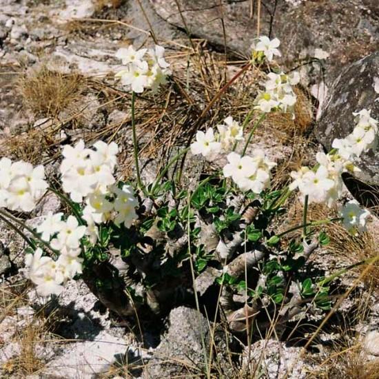 Pachypodium Eburneum - 5 Seeds - Succulent of Madagascar