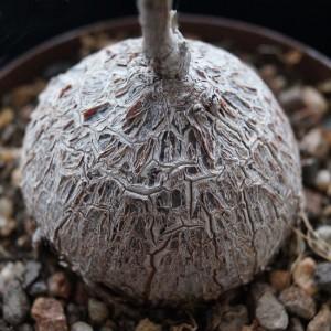 Petopentia Natalensis ( Fockea ) - 5 Seeds - Caudex Succulent