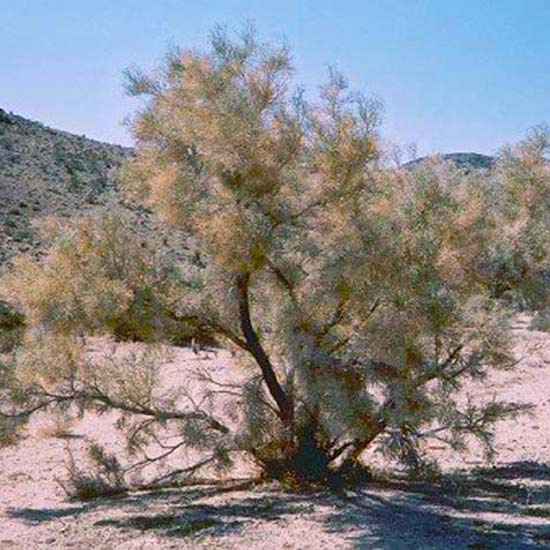 Psorothamnus ( Dalea ) Spinosa - 25 Seeds - Smoke Tree