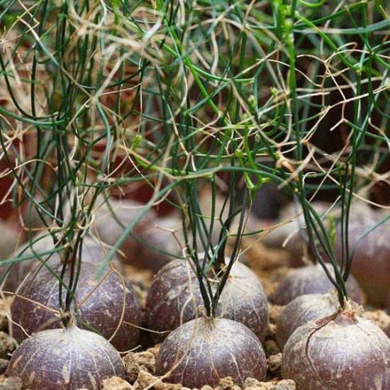 Schizobasis Intricata Seeds - Caudex Forming Succulent