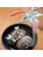 Sinningia Leucotricha - 50 Seeds - Caudex