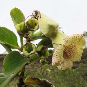 Sinningia Werdermannii - 50 Seeds - Brazilian Succulent
