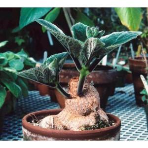 Sinningia Iarae - 50 Seeds - South American Caudex Succulent