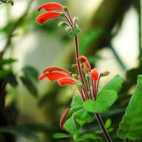 Sinningia Cooperi - 50 Seeds - Brazilian Caudex Succulent
