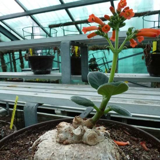 Sinningia Macrostachya - 50 Seeds - Leather Leaf Gloxinia
