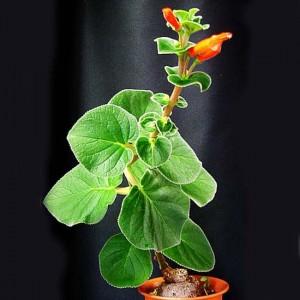 Sinningia Bulbosa - 50 Seeds - Brazil Caudex Semi Succulent