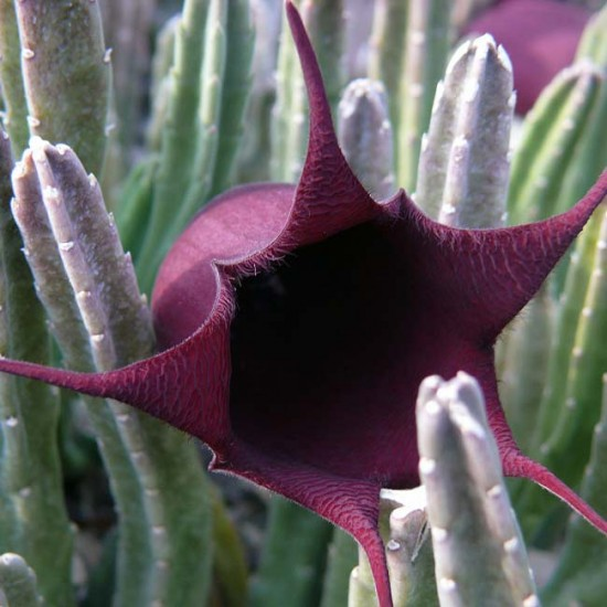 Stapelia Leendertziae - 8 Seeds - Carrion Plant Asclepiad