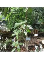 Uncarina Roeoesliana - 5 Seeds - Pachycaul Madagascar Succulent