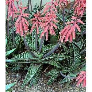Aloe Variegata - 10 Seeds - Tiger Aloe Succulent
