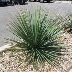 Dasylirion Texanum - 10 Seeds - Sotol