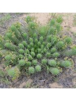 Euphorbia Tuberculata - Seeds - Rare Rosette Forming South African Succulent