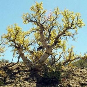 Pachycormus Discolor - 8 Seeds - Elephant Tree