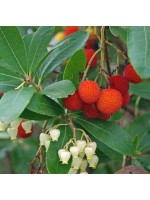 Arbutus Unedo - 25 Seeds - Strawberry Tree