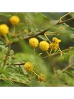 Acacia Nilotica (Vachellia) - 10 Seeds - Gum Arabic Tree