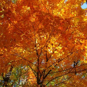 Acer Saccharum - 25 Seeds - Maple Syrup Tree