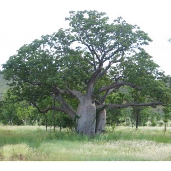 Adansonia Gregorii Seeds - Australian Baob Baobab Tree - Excellent Bonsai!!