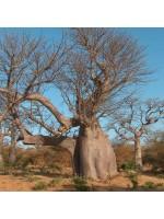 Adansonia Digitata - 6 Seeds - Baobab Tree