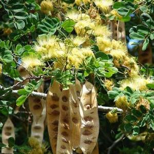 Albizia Lebbeck Seeds - Silk Tree - Exquisite flowers!