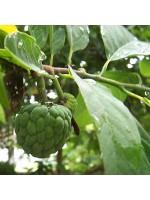 Annona Squamosa - 20 Seeds - Soursop Custard Sugar Apple