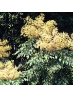 Aralia Spinosa - 100 Seeds - Devil's Walking Stick