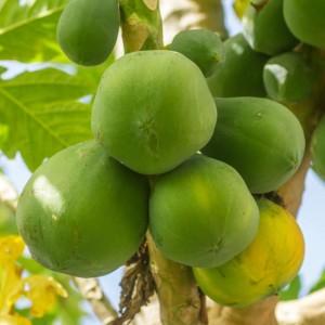 Asminia Triloba Pawpaw - 25 Seeds - Fully Hardy Fruit Tree