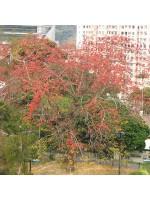 Bombax Ceiba - 10 Seeds - Red Silk Kapok Seeds