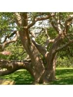 Bursera Simaruba - 20 Seeds - Gumbo Limbo - Tourist or Turpentine Tree - Medicinal