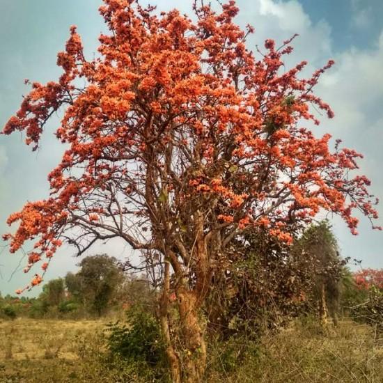 Butea Monosperma - 10 Seeds - Flame of the Forest Tree - Bastard Teak