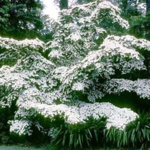 Cornus Kousa Chinensis - Milky Way - 15 Seeds - Korean Dogwood