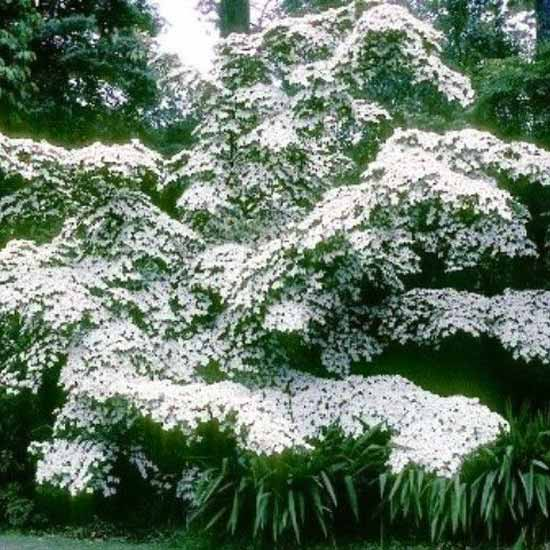 Cornus Kousa Chinensis - Milky Way - 15 Seeds - Korean Dogwood