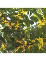 Cananga Odorata - 10 Seeds - Ylang Ylang Massacar Oil Tree