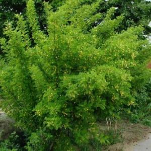 Caragana arborescens - 50 Seeds - Siberian Pea Tree or Peashrub