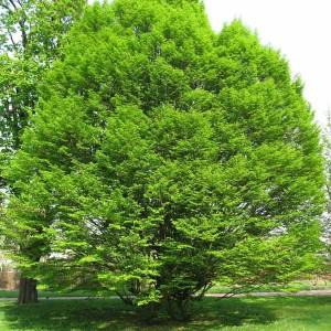 Carpinus Betulus - 25 Seeds - European Hornbeam