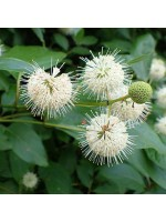 Cephalanthus Occidentalis - 50 Seeds - Button Bush or Button Willow