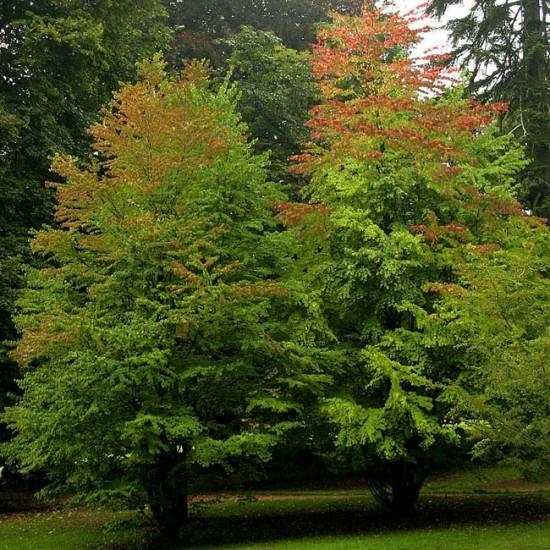 Cercidiphyllum Japonicum - 25 Seeds - Japanese Katsura Tree / Caramel Tree