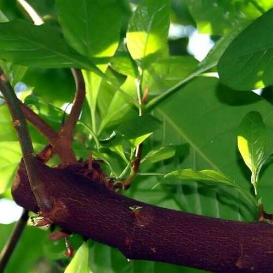 Cinchona Pubescens - 20 Seeds - Red Quinine Tree
